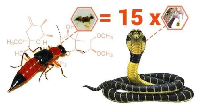 Kiến ba khoang cắn có nguy hiểm không?